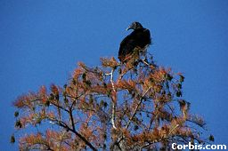 vulture-tree.jpg (10929 bytes)